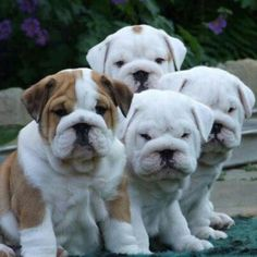 English Bulldog Puppies just like that? Kenneth's favorite list of english bulldog puppies options. Bulldog Breeds, English Bulldog Puppies, British Bulldog, Mini English Bulldogs, French Bulldog, Cute Puppies, Cute Dogs, Dogs And Puppies, Doggies