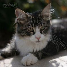CAMPINO Cats, Animals, Norwegian Forest Cat, Gatos, Animales, Animaux, Animal, Cat, Animais