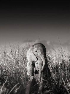 Joachim Schmeisser - Wild elephant babies playing I, century, contemporary, wildlife Wild Elephant, Elephant Love, Baby Elephants, Elephants Photos, Happy Elephant, Cute Baby Animals, Animals And Pets, Funny Animals, Wild Life Animals