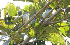 Thick-billed flowerpecker, Palsambe, Kolhapur,Maharashtra
