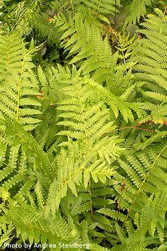 Dennstaedtia punctilobula (hayscented fern - northeastern and appalachian native)
