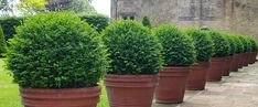 Potted topiary defines the edge of the terrace