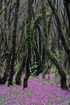 Parque Nacional de Garajonay. Un ecosistema milenario. La Gomera,  Spain. National Park - Canary Islands