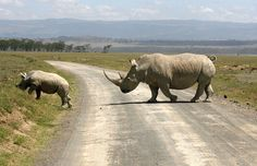 A white rhino and its baby cross a road on the drying shores of Lake Nakuru in Kenya's Rift Valley, December 18, 2009. (Photo by Thomas Mukoya/Reuters) Read more at http://designyoutrust.com/2015/08/wildlife-on-the-road-amazing-photos-of-animals-crossing-roads/#ARED13LJep3hlPKI.99