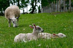 BFL Bluefaced Leicester wool yarn sport wt. by thesachemfarm