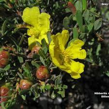Image result for hibbertia obtusifolia