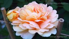 Celebrities, Rose, Flowers, Plants, Patio, Deco, Celebs, Pink, Decor