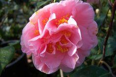 """Camellia japonica """"Ack-scent"""""""