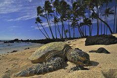 """Turtle, Kekaha Kai, North Kona, Hawaii """"All the thoughts of a turtle are turtle"""" - Ralph Waldo Emerson """"All the thoughts of a turtle are turtle"""" - Ralph Waldo Emerson Moving To Hawaii, Hawaii Vacation, Vacation Ideas, Kona Coast, Kona Hawaii, Turtle Love, Hawaiian Islands, Big Island, Places To See"""