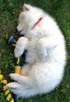 "Puppy: ""Well, I got this far... then I needed a nap before I could play with the hose..."""