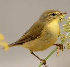 Fitis (willow warbler)