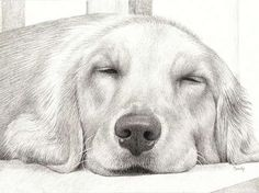 Naptime V - Pencil Drawing of a Golden Retriever named Sandy by Candy Witcher