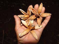 flor do Cedro (madeira pura)
