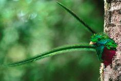 biodiversidad del quetzal - Buscar con Google