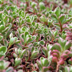 Sedum spurium Tri-Color (Tricolor)