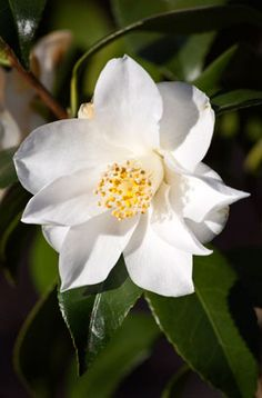 camellia 'Lily Pons'