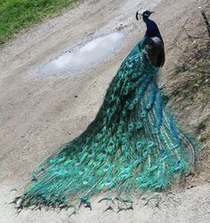 Google Image Result for http://www.deviantart.com/download/161245089/Zoo_Montana_Peacock_19_by_Falln_Stock.jpg
