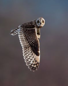 short-eared owl by Animal Cognizance