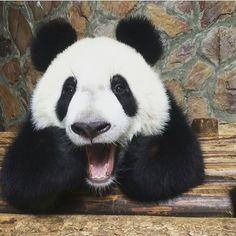 cute / funny panda bear