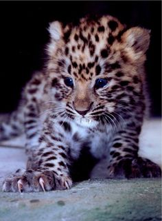 There are less than 30 of these Amur Leopards left! :(