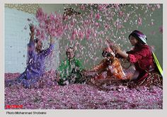 Every year during the second half of May, festival of Rose and Rose Water is held in Kashan, Iran. People from different parts of the country and abroad visit this hub of Mohammadi Rose in the country.