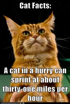 A cat in a hurry can sprint at about thirty-one miles per hour.  Wow this is why a feral cat flying through the clinic is so hard to catch!