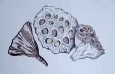 Seedpod Sketch , Resources for Art Students @ CAPI milliande.com , Artist Study Seedpod Illustration Sketch