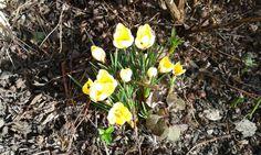 Frühling im Vorgarten - die ersten Krokusse