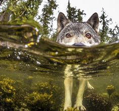 BC's wolf population is getting a lot of attention these days, but most people haven't heard of the unusual sea wolves found in and around the Great Bear Rainforest. @natgeo is highlighting this elusive beachcomber that swims and feeds off the ocean in an upcoming issue. @iantmcallister with Pacific Wild has been studying the wolves for two decades and snapped this shot of them eating herring roe.  For more information head to the #globalnews website. #globalbc #explorebc #beautifulbc…