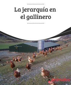 La #jerarquía en el gallinero  Un gallinero es el espacio donde se crían #gallinas y gallos para sacar #provecho de su carne y de los huevos fundamentalmente. La jerarquía en el gallinero es el resultado de la #interacción entre sus integrantes.