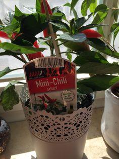 25.07. - meine Chilipflanze wachsen zu sehen macht mich glücklich #100happydays #happinesschallenge