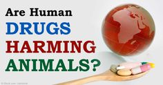 Drugs taken by humans and animals that are flushed into the environment in sewage include antibiotics, painkillers, anti-depressants, and more. http://healthypets.mercola.com/sites/healthypets/archive/2015/04/11/effects-pharmaceuticals-wildlife.aspx