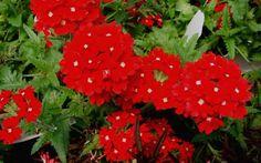Verbena peruviana 'Red Devil' - Peruvian Red Hardy Verbena