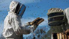 #Apicultura Las #abejas, afectadas por el uso de #pesticidas sistémicos http://aga.cat/index.php/ca/articulos/ultimas-noticias/608-las-abejas-afectadas-por-el-uso-de-pesticidas-sistemicos  #miel #mortandad #pesticides #abelles #mel #mortaldat