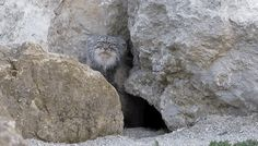 Watch The Earth-Shattering Moment This Pallas's Cat Found A Camera Outside His Den 6/14/2014