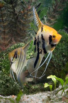 angelfish, I had a black male named Gilbert who sadly had psychological issues and a younger female named Golden Bells. Later I had another one, white, named Glaciers. Golden Bells was a bully.