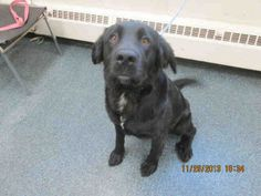#OHIO #URGENT ~ PawsID A004247 is a Spayed 2yo Labrador Retriever / Newfoundland mix. She came in scared & is warming up. She's V sweet & likes to give kisses. She likes people, but gets scared if there's lots of activity going on. Therefore, she needs to go to a home with kids 10yo + She'd prefer a calm, quiet home, is friendly with other dogs & is in need of a loving #adopter / #rescue at LUCAS COUNTY DOG WARDEN 410 South Erie St #Toledo OH 43602 dogwarden@co.lucas.oh.us  P 419-213-2800