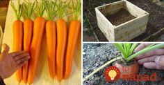 Chystáte tento rok pestovať mrkvu klasicky zo semienka? Ak máte trochu odvahy a chcete vyskúšať niečo nové, prinášame vám inšpiráciu od istého pestovateľa, ktorý na svojom dvore dopestoval skutočne maxi mrkvu.