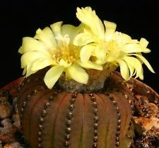 Frailea castanea exotic flower cacti rare flowering cactus semi seed 100 SEEDS