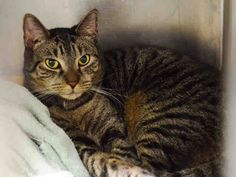 PULLED BY ANJELLICLE - 11/11/15 - STACY - #A1055310 - - Manhattan  ***TO BE DESTROYED 11/10/15***EVERYONE LOVES SWEET BEGINNER STACY AND YOU WILL,TOO!