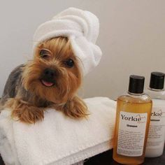 Any pup out there heading to the spa this weekend? #yorkie #itsaYORKIElife