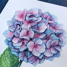 Very pretty hydrangeas Watercolor And Ink, Watercolour Painting, Watercolor Flowers, Painting & Drawing, Botanical Drawings, Botanical Art, Botanical Illustration, Flower Line Drawings, Flower Sketches