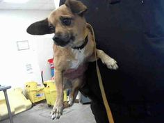 Pictures of BELL a Chihuahua for adoption in Phoenix, AZ who needs a loving home.