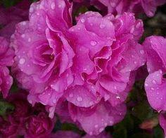 Azalea Amelia Rose
