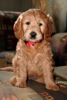 #goldendoodle #dogs #cute Can we get it, can we,can we?