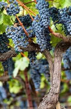 How do you grow grapevines from cuttings grape plants for eating,transplanting young grape vines kiwi vine not growing,fruits and vegetables that grow on a vine wine grape growing terms. Growing Fruit Trees, Growing Grapes, Fruit And Veg, Fresh Fruit, Wine Vineyards, Vides, Wine Guide, Purple Home, Beautiful Fruits