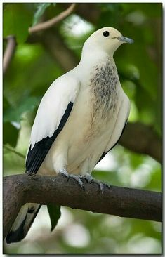 Pied Imperial Pigeon (Ducula Bicolor). Cute chest