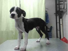 OREO - ID#A459258 - Harris County Animal Shelter in Houston, Texas - 4 month old neutered Pit Bull Terrier - at the shelter since May 26, 2016.