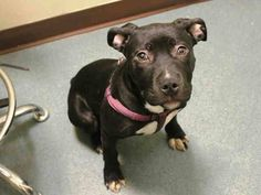 SAFE - 03/12/15 --- Brooklyn Center   LITTLE ONE - A1029295   FEMALE, BLACK / WHITE, PIT BULL MIX, 6 mos STRAY - STRAY WAIT, NO HOLD Reason STRAY  Intake condition EXAM REQ Intake Date 03/03/2015 https://www.facebook.com/Urgentdeathrowdogs/photos/pb.152876678058553.-2207520000.1425509584./971198242893055/?type=3&theater