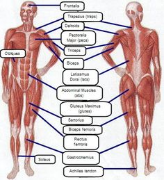 Easy muscle groups to remember - http://www.fitnesspillars.com/image-files/human-body-muscle-diagram.jpg